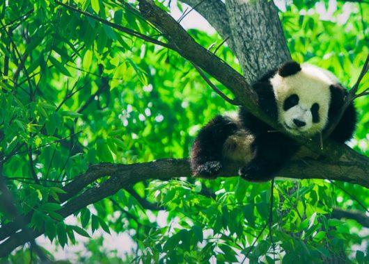 Giving-Back | Panda Bear